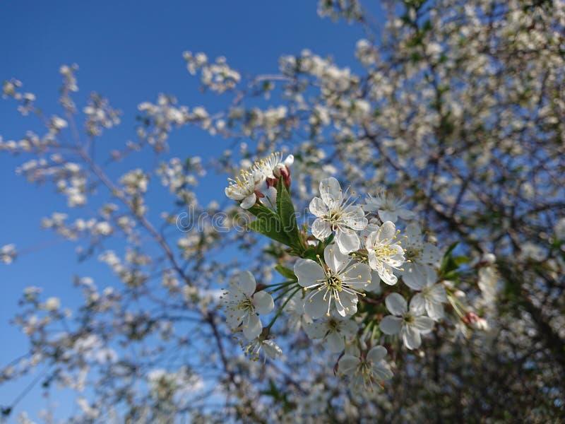Caldo all'inizio di maggio Sotto Kazan hanno fiorito i giardini I bombi e le api raccolgono disposto il nettare fotografia stock
