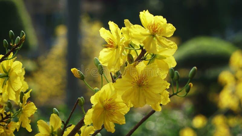 Caldo giallo dei fiori del fiore dell'albicocca nella festa Tet Vietnam fotografia stock libera da diritti