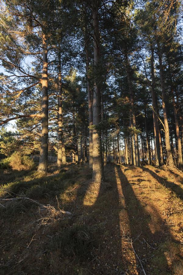 Caledonian forest in evening light in the Cairngorms National Park of Scotland. Caledonian forest of Pine in evening light in the Cairngorms National Park of stock image