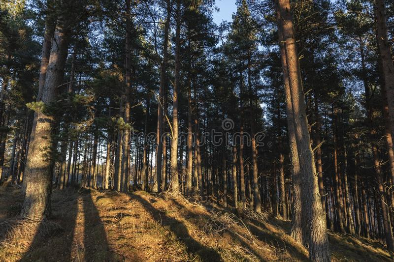 Caledonian forest in evening light in the Cairngorms National Park of Scotland. Caledonian forest of Pine in evening light in the Cairngorms National Park of royalty free stock photography