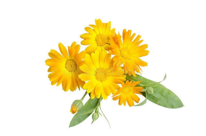 Calendula, κίτρινα λουλούδια σε ένα άσπρο υπόβαθρο στοκ εικόνες