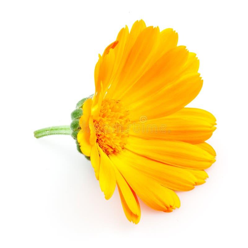 Calendula. λουλούδια που απομονώνονται στο λευκό στοκ εικόνες με δικαίωμα ελεύθερης χρήσης