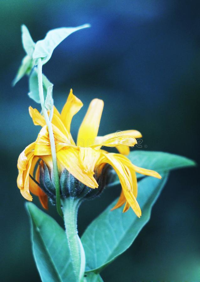 Calendula цветка стоковое изображение
