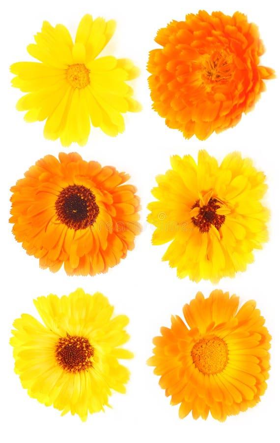 Download Calendula stock image. Image of decorative, white, daisy - 10118189