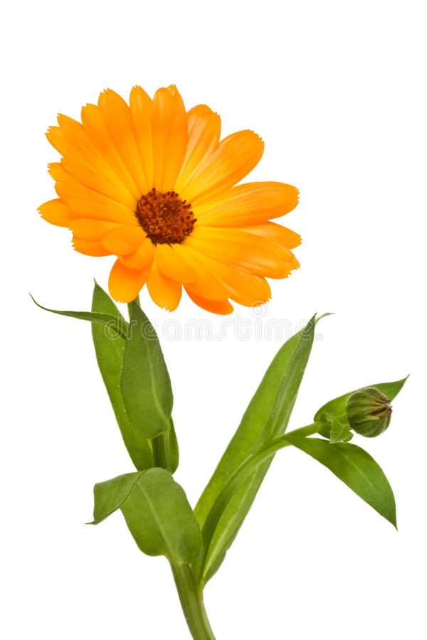 Calendula stockfotos