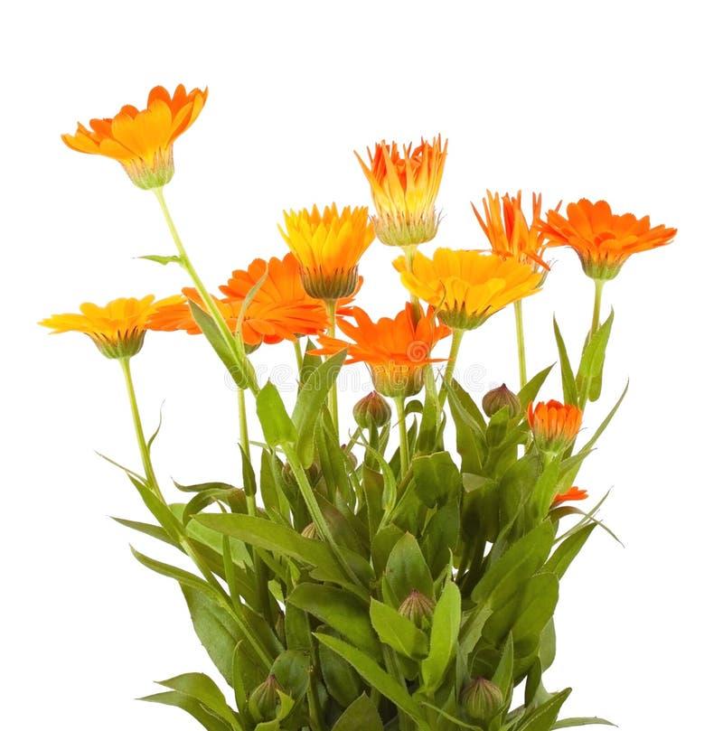 Calendula royalty-vrije stock afbeelding