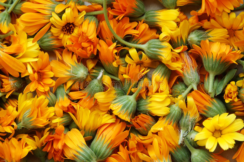 Calendula stockbild