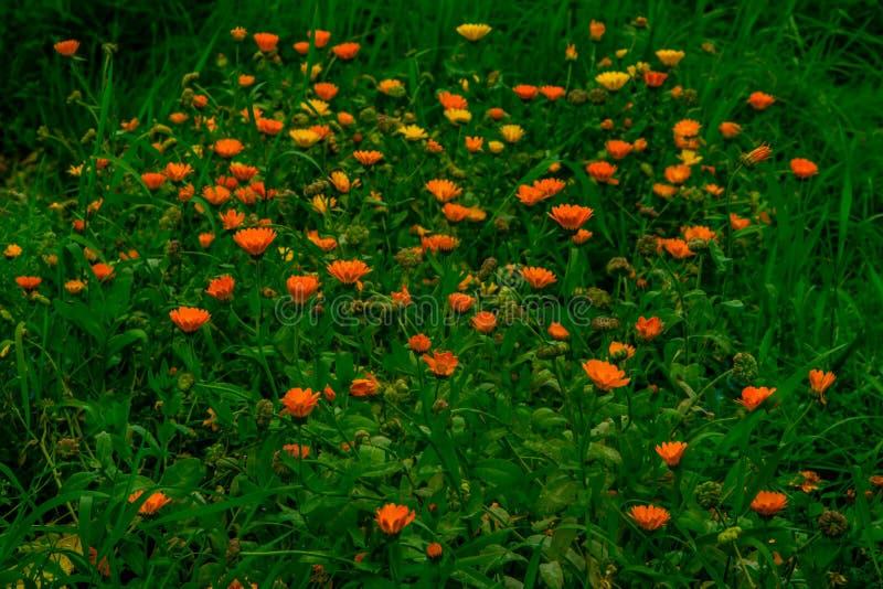 Calendula stock fotografie