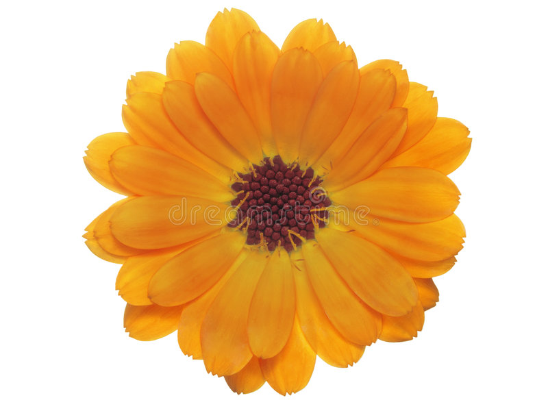 Calendula. Isolated closeup orange blossom of a marigold flower royalty free stock photography
