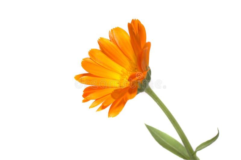 Calendula stock image