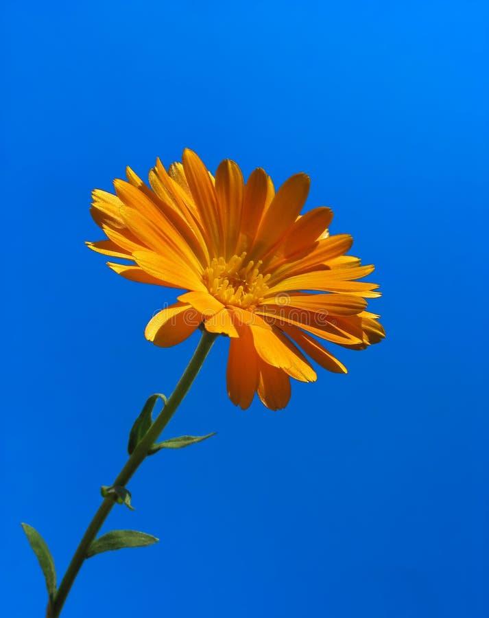 Calendula against blue sky background stock images