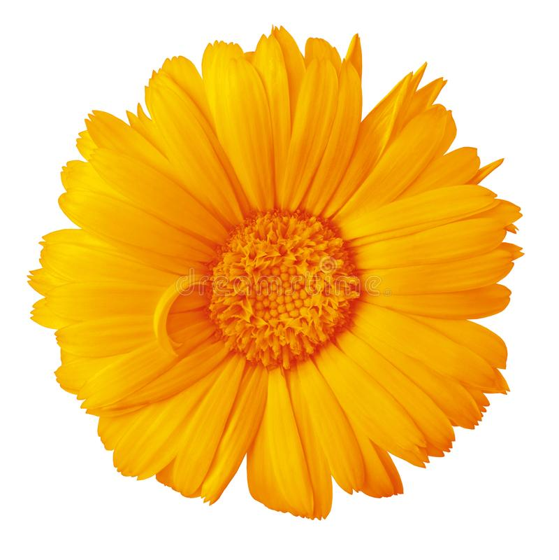 Calendula ambarino alaranjado da flor isolado em um fundo branco com trajeto de grampeamento Close-up imagem de stock
