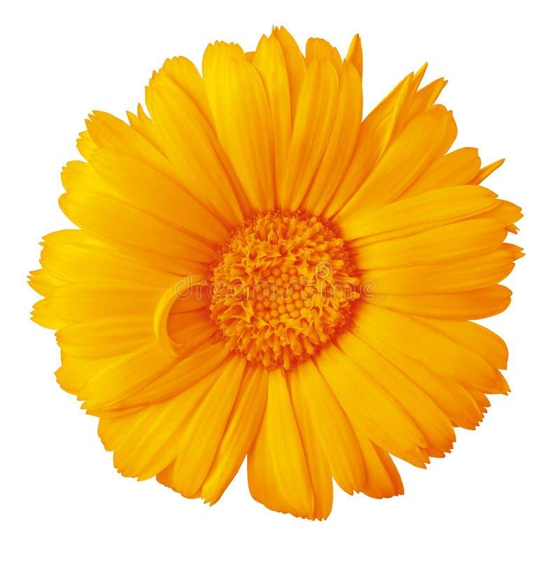 Calendula ambarino anaranjado de la flor aislado en un fondo blanco con la trayectoria de recortes Primer imagen de archivo
