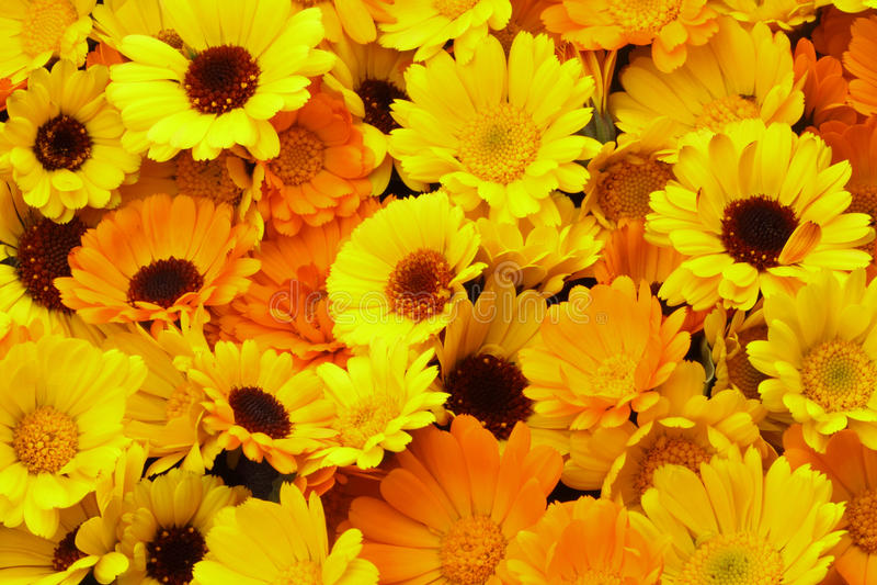 Calendula - Bloemenachtergrond stock afbeeldingen