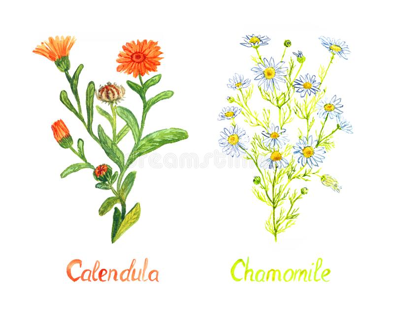 Calendula and chamomile plants with flowers and buds, isolated on white background hand painted watercolor illustration royalty free stock image