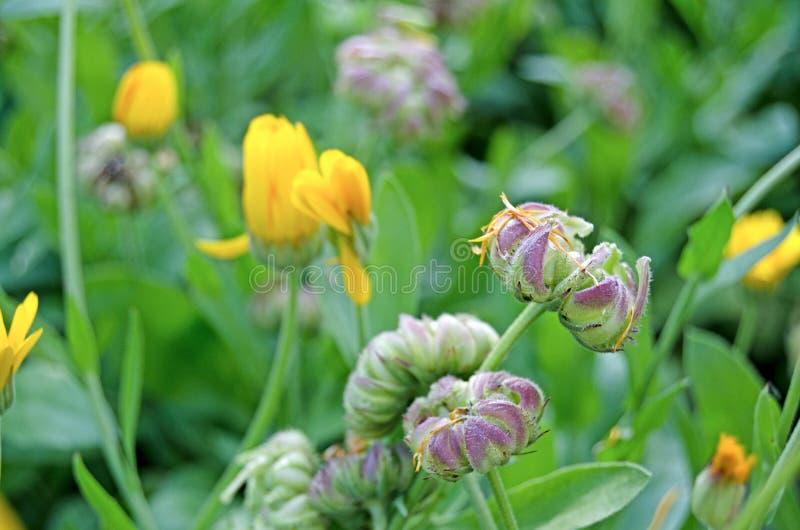 Calendula di fioritura nel giardino Pianta medicinale immagine stock