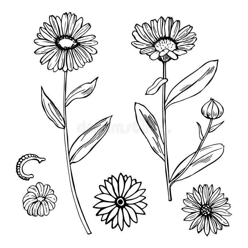 Calendula Erbe medicinali illustrazione di stock