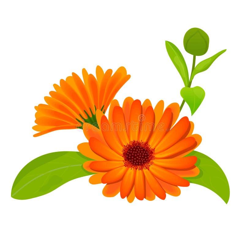 Calendula fleurs avec des feuilles d'isolement sur le blanc illustration libre de droits