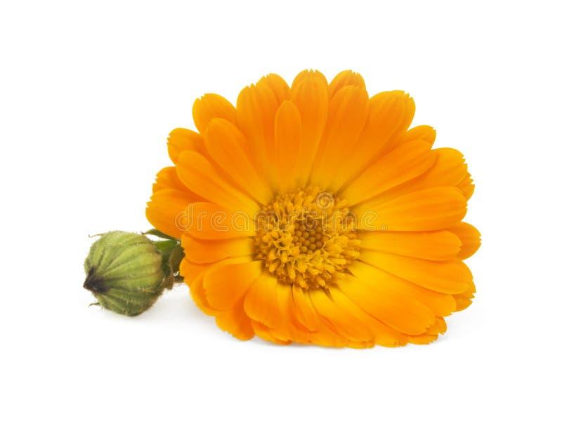 Calendula Fleurs de souci image libre de droits