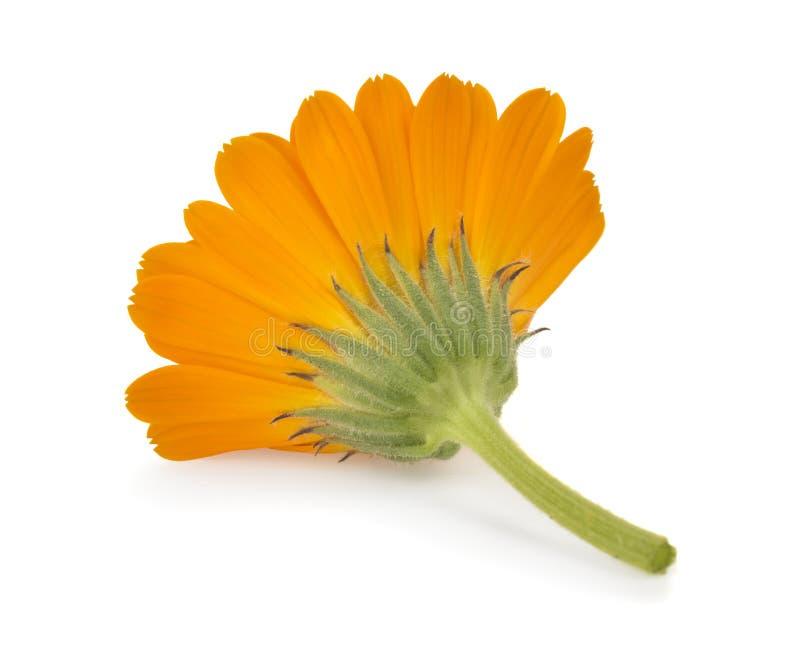 Calendula Fleurs de souci photo libre de droits