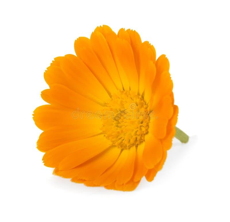 Calendula Fleurs de souci photos libres de droits