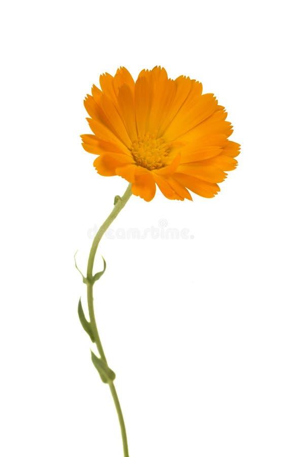 Calendula Fleurs de souci avec des feuilles photo stock