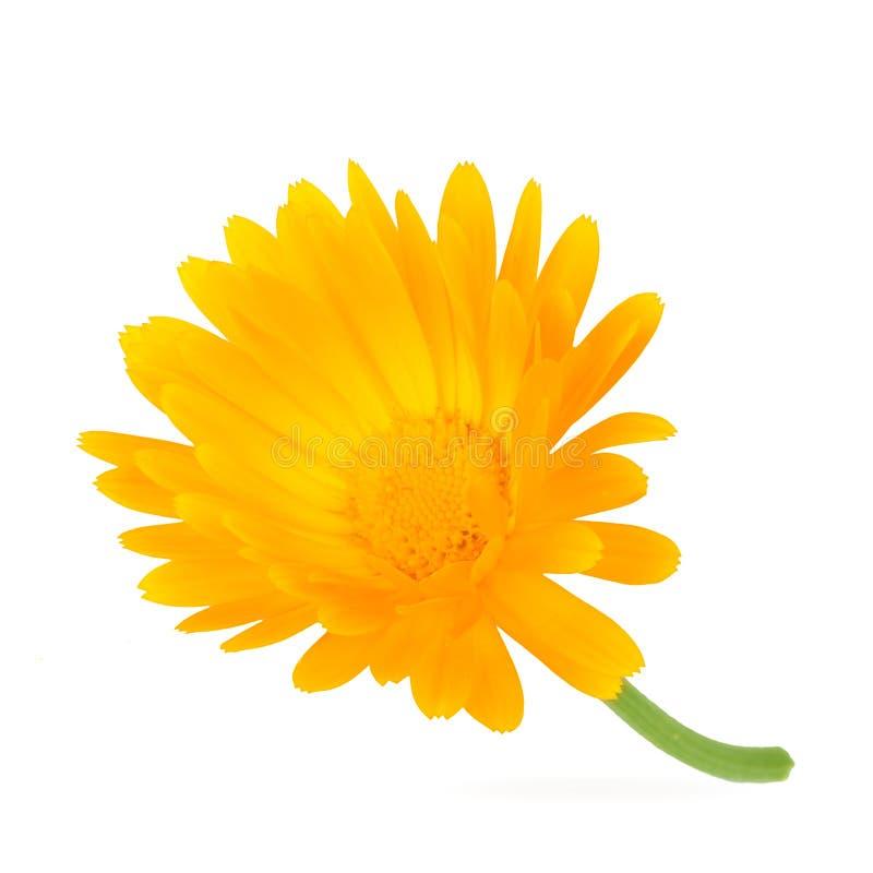 Calendula Fleurs de souci avec des feuilles d'isolement sur le blanc photo libre de droits