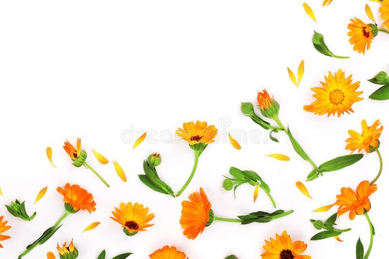 Calendula Flor de la maravilla en el fondo blanco Esquina con el espacio de la copia para su texto Visión superior foto de archivo libre de regalías