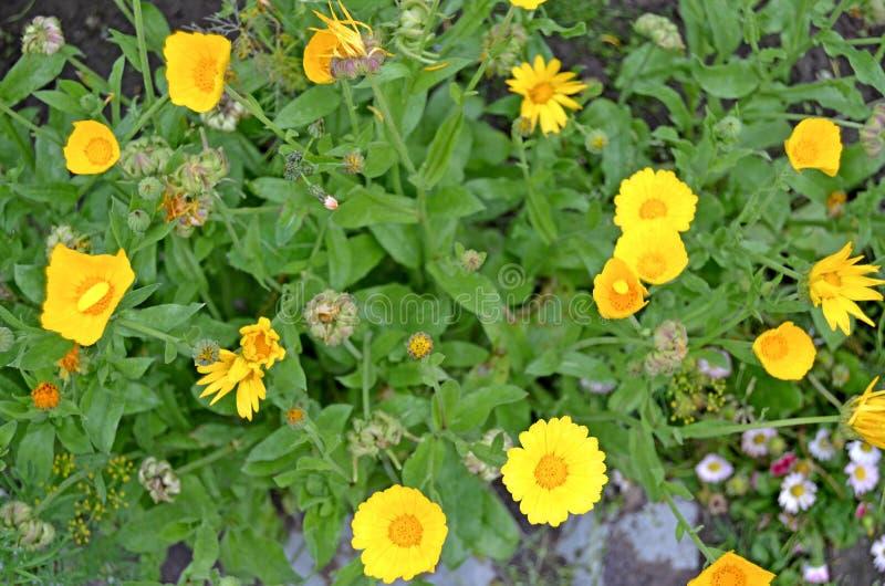 Calendula floreciente en el jard?n Planta medicinal fotografía de archivo