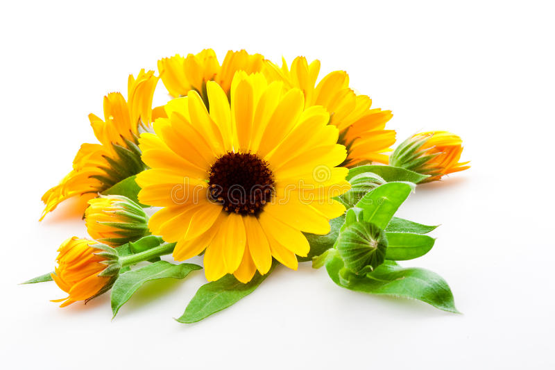 Calendula. flores aisladas en blanco fotos de archivo libres de regalías