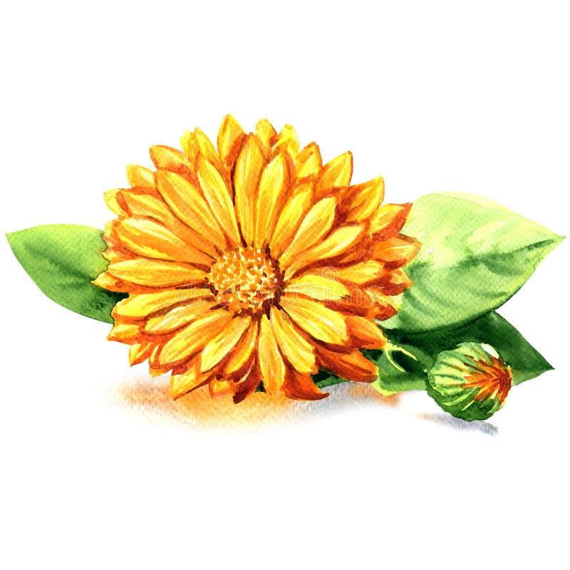 Calendula Flores de la maravilla con las hojas aisladas en blanco libre illustration