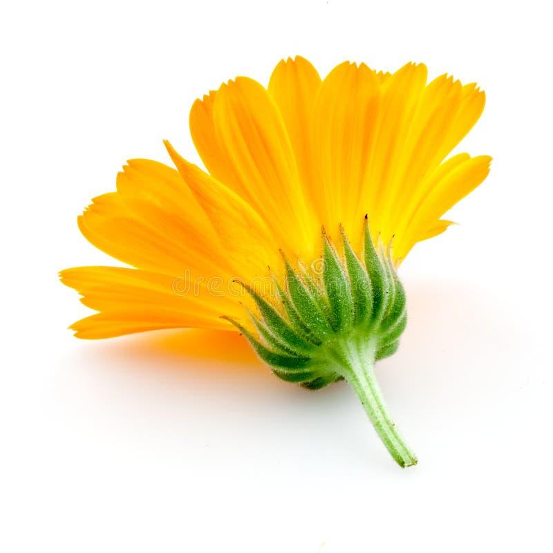 Calendula. flores isoladas no branco imagem de stock