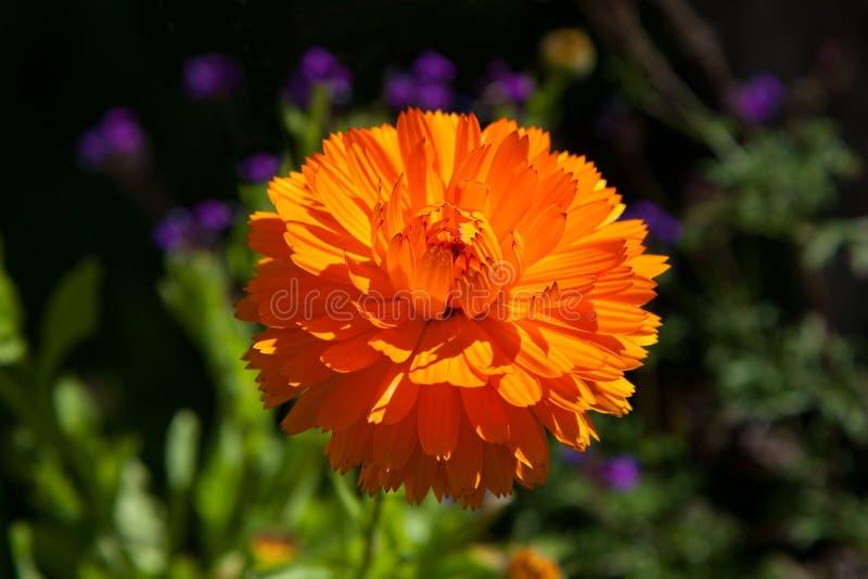Calendula flower royalty free stock images