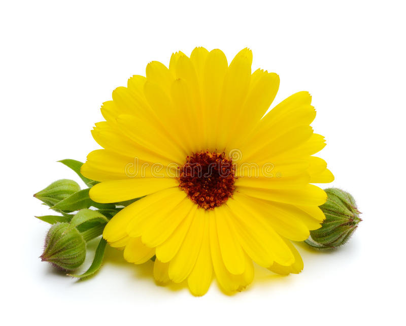 Calendula flower. With buttons isolated on the white background royalty free stock photos