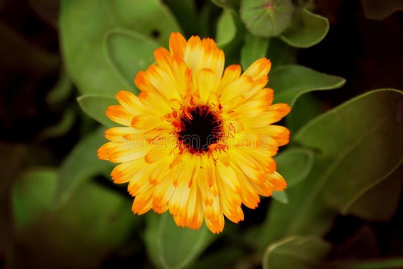 Calendula flower. Photo of bright yellow calendula flower, orange cheerful flower, around green leaves, one flower, postcard, unopened bud, beautiful, Tender stock photos