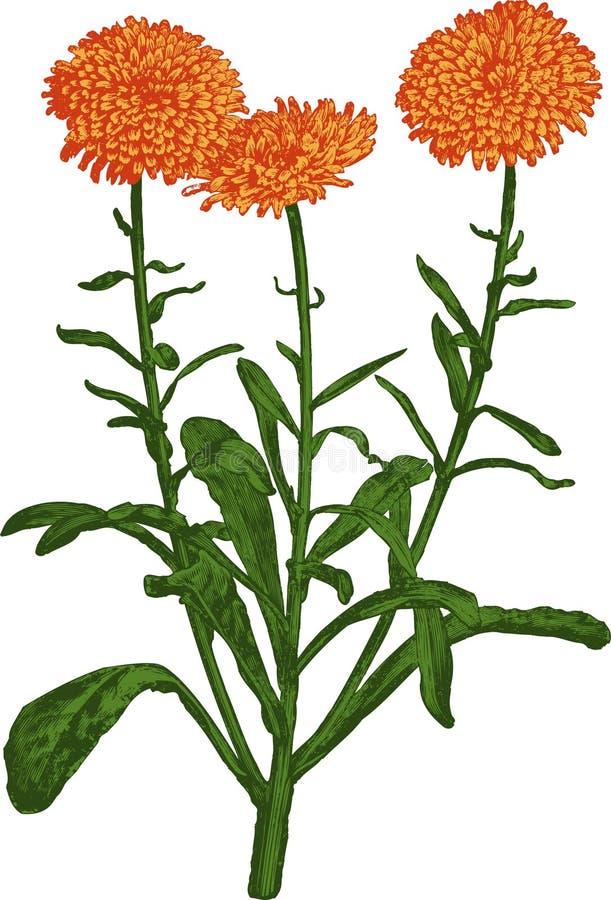 Orange Calendula flower. Vector stock photography