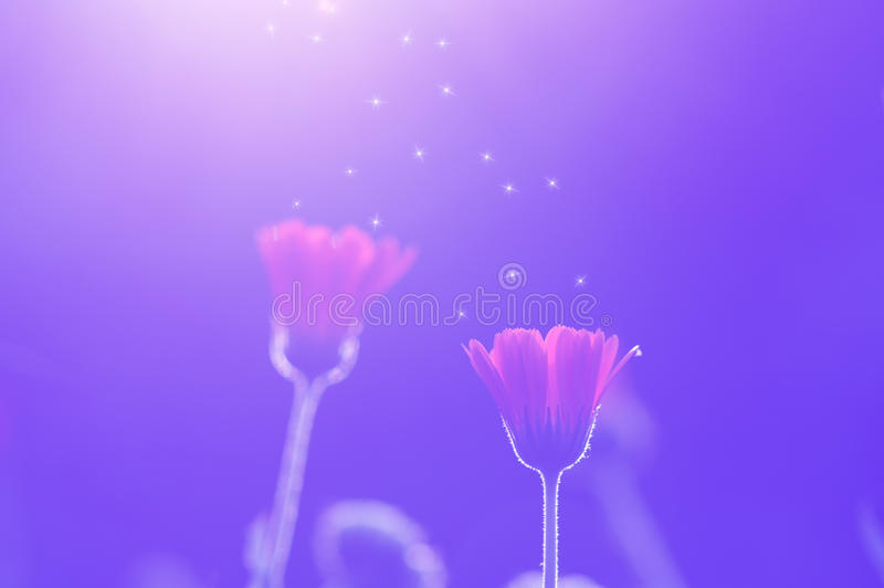 Calendula flowers toned in purple at sunset are decorated with stardust. Artistic image stock image