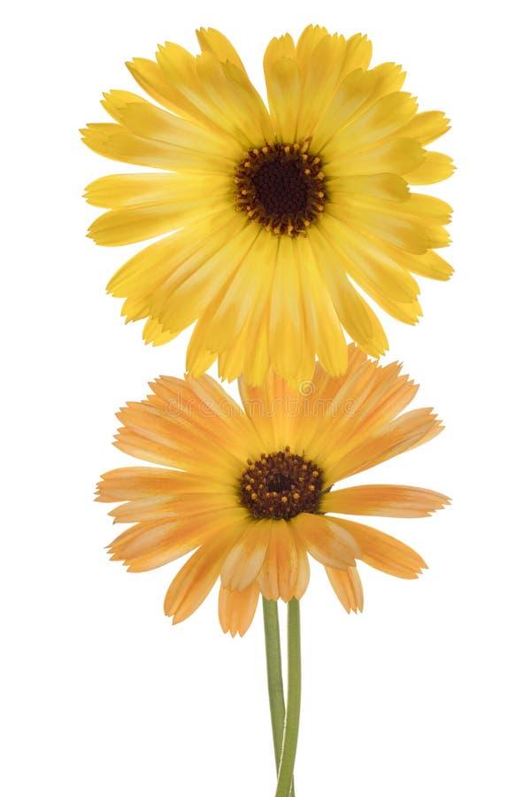 Calendula kwiat odizolowywający obraz royalty free