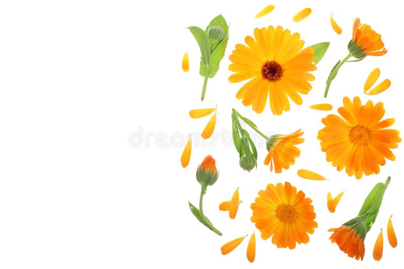 Calendula. Marigold flower isolated on white background with copy space for your text. Top view. Flat lay pattern. Calendula. Marigold flower with leaf isolated royalty free illustration