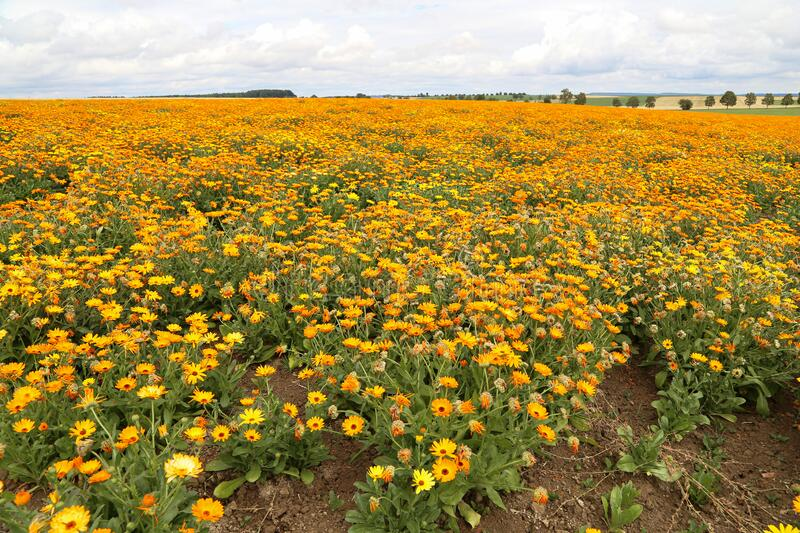 Calendula, medicinal flowers grow in a field in Germany stock photography