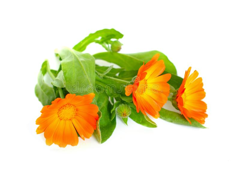 Calendula Officinalis stockfotografie