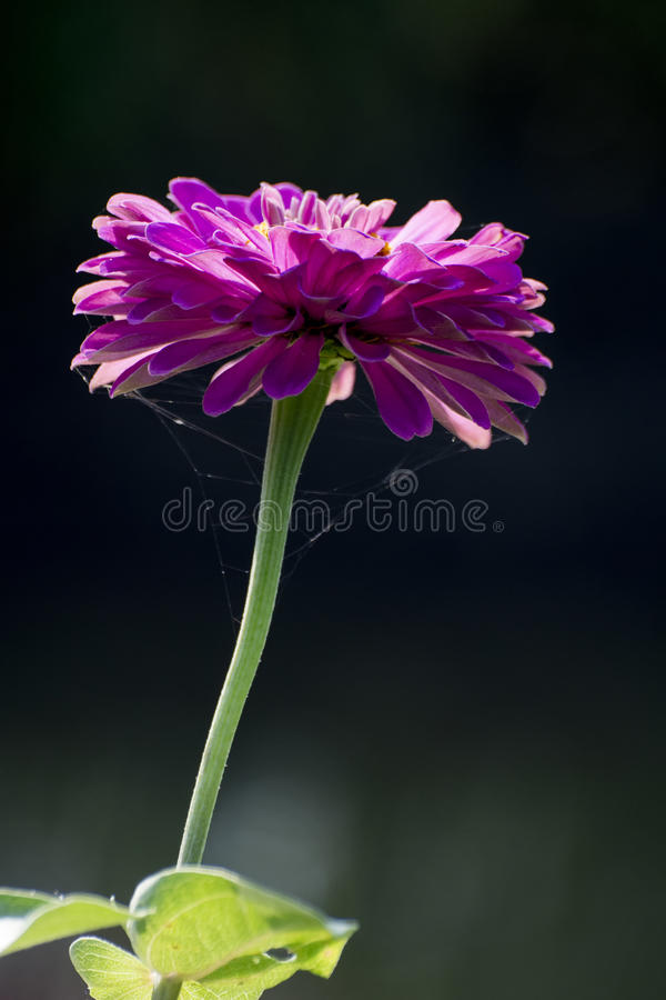 Calendula Officinalis imagem de stock royalty free