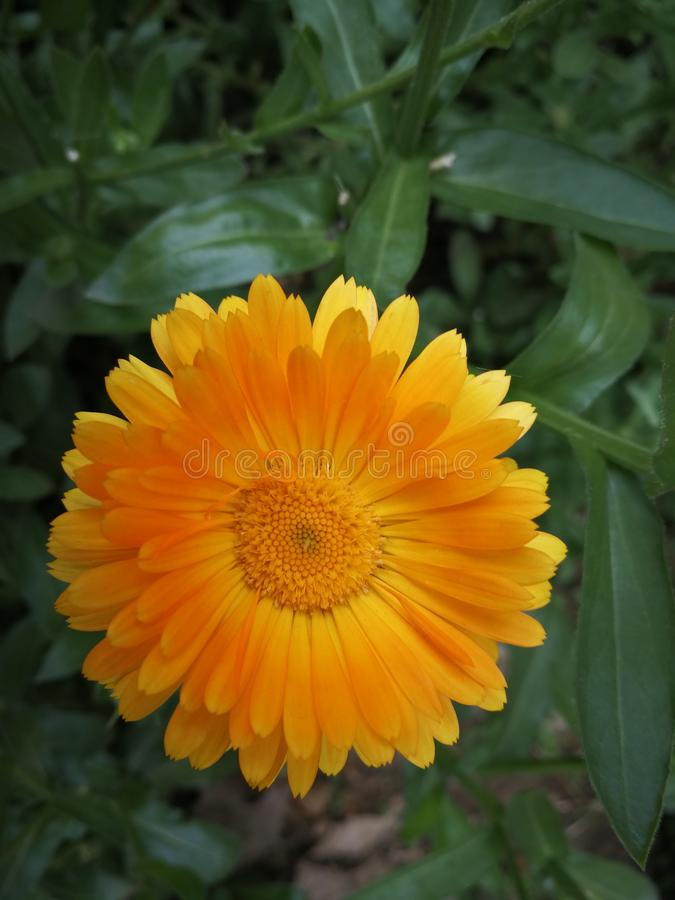 Calendula Officinalis images libres de droits