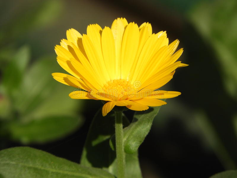 Calendula Officinalis photographie stock libre de droits