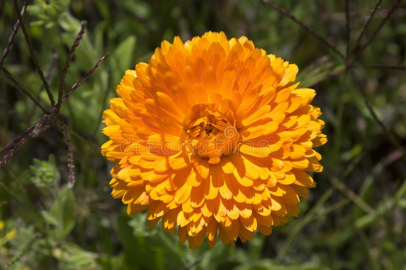 Calendula officinalis flower in bloom royalty free stock photography