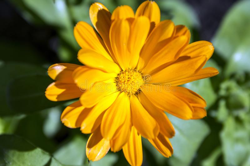 Calendula officinalis flower in bloom royalty free stock photos