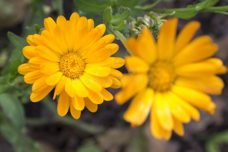 Calendula officinalis flower in bloom royalty free stock image