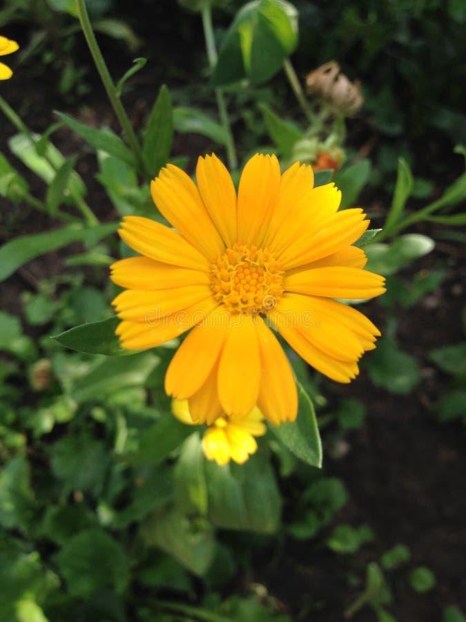 Calendula officinalis royalty free stock photo