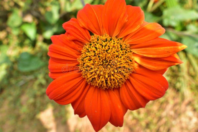 Calendula officinalis, die Ringelblume, gemeine Ringelblume oder schottische Ringelblume, ist eine Anlage in der Klasse Calendula lizenzfreies stockfoto