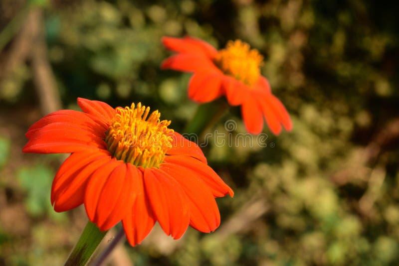 Calendula officinalis, die Ringelblume, gemeine Ringelblume oder schottische Ringelblume, ist eine Anlage in der Klasse Calendula stockfotos